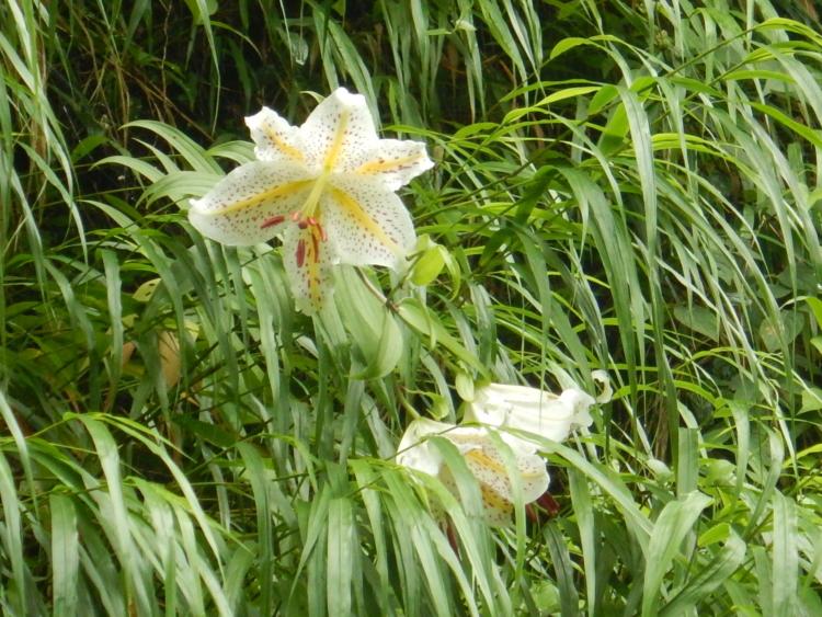 白丸湖はヤマユリの花が綺麗です