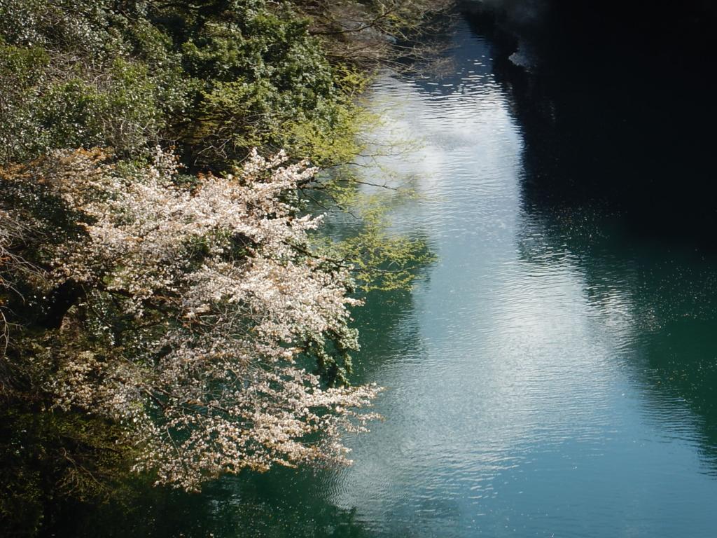 2019年奥多摩の桜開花情報(4/12更新)