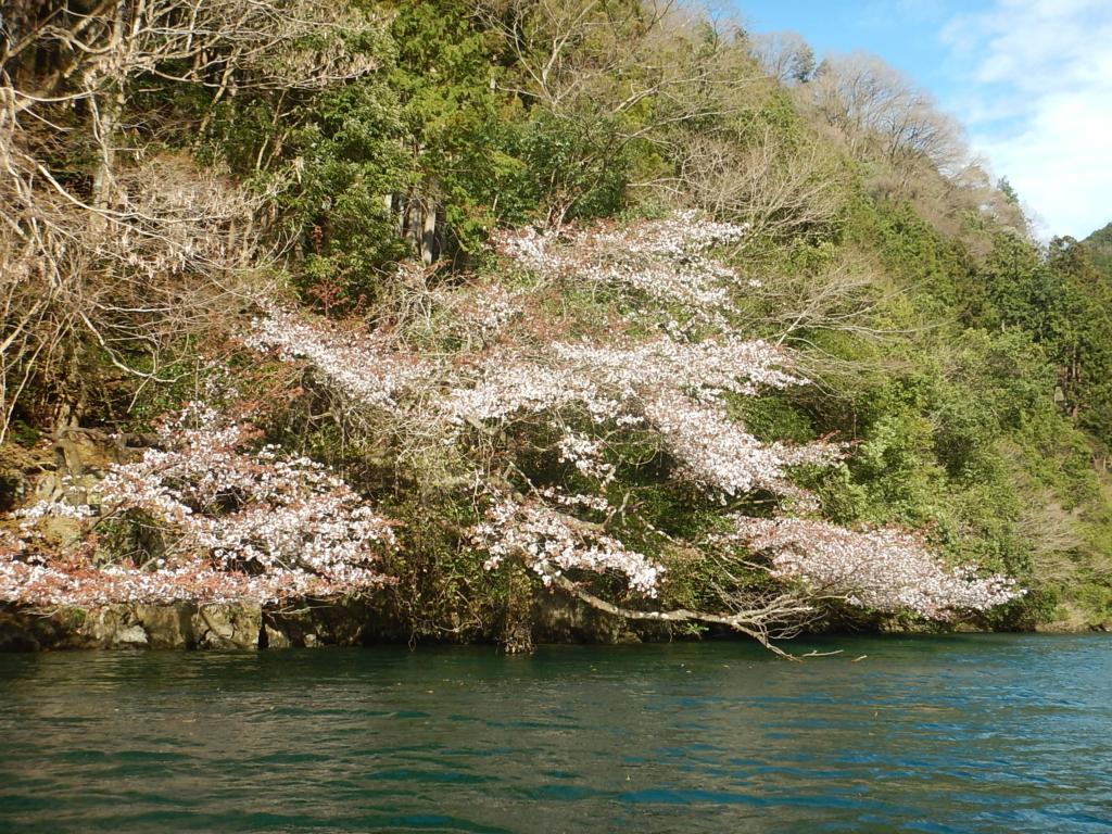 白丸湖の桜が咲き始めました