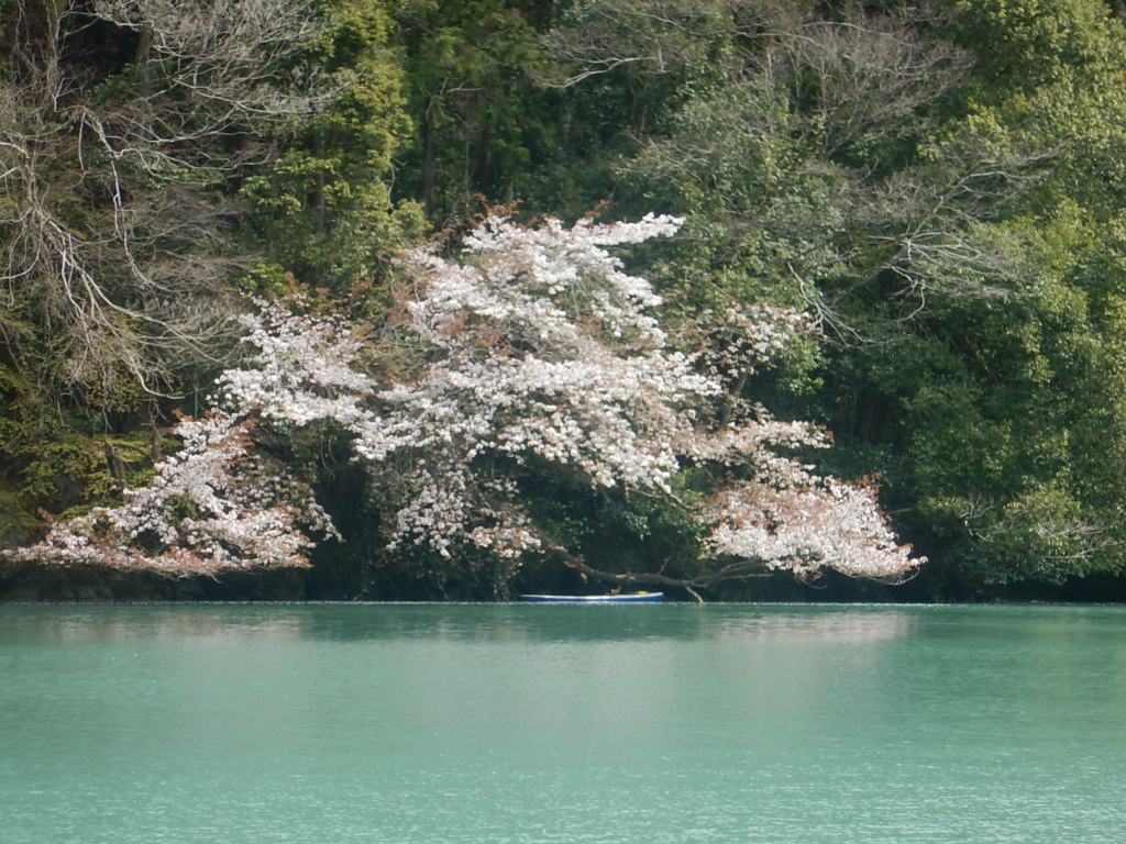 白丸湖は山桜が咲き始めました