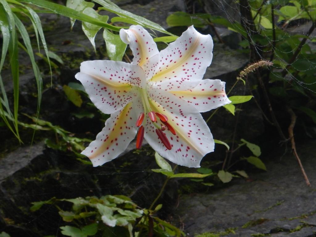 白丸湖のヤマユリが咲き始めました